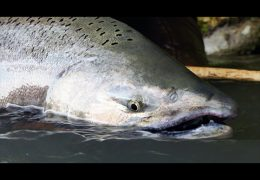 Chinook Salmon Fly Fishing